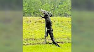 Gator Filmed Climbing Over Fence At Naval Air Station In Florida Country Music Nation