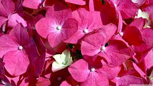 pink flowers ultra hd desktop