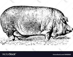 Poland china pig vintage Royalty Free Vector Image