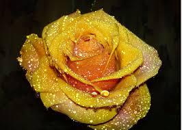 ايمجكس صور ورد الورد الاصفر وشياكته لغة الزهور هي لغه معقدة