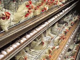 मरी मुर्गियों को खेत में फेंका बदबू से परेशान