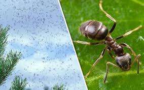 28+ When Is Flying Ant Day PNG