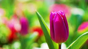 صور وردة التوليب Tulip منتديات درر العراق