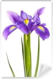 Purple Iris Flower Isolated On White Wall Mural Pixers We Live To Change