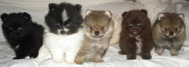 pomeranian and dachshund puppies for