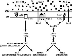 natural petence in vibrio cholerae