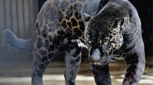 jaguar hd photos best jaguar in the