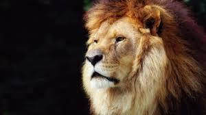 big lion head wallpapers 1600x900