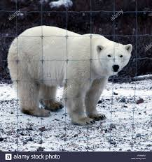 Polar Bear Ursus Maritimus By The Fence Of Protecting Guests Visiting Churchill Wild S Seal River Heritage Lodge In Northern Manitoba Canada Stock Photo Alamy