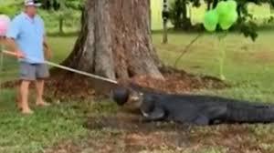 Usa News Alligator In Florida Caught Climbing A Fence Nine Com Au