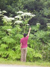 Giant hogweed - CKISS - Central Kootenay Invasive Species Society