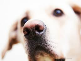 depigmentation disorders in dogs