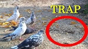 ฟ งเพลง ดาวโหลดเพลง pigeon catcher ท น