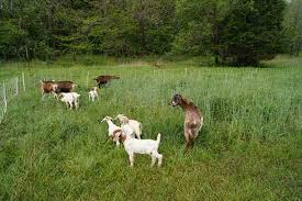 Tips For Training Goats Mother Earth News