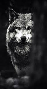 black wolf hd iphone wallpapers wolf