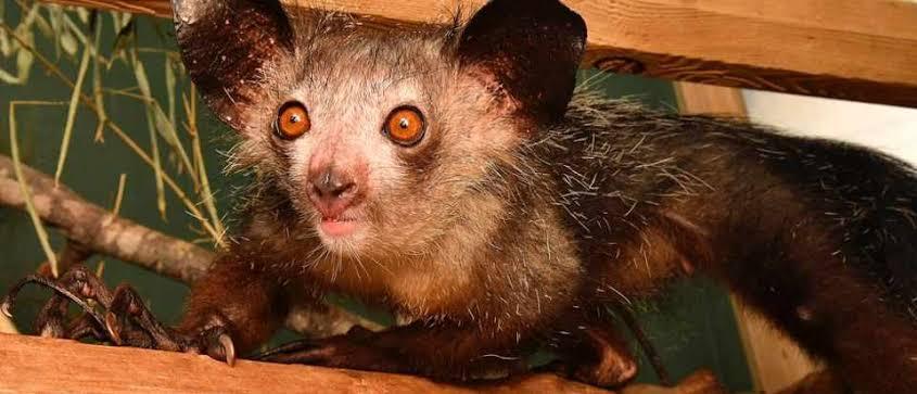 aye-aye-lemur