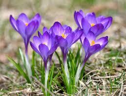 Wiosna, krokus i dolary | Kronika Montrealska
