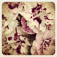 beautiful carnation flowers from rosy s