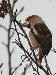 where to see hawfinches birdguides