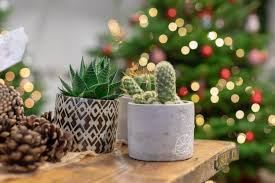 cacti is new favourite christmas plant