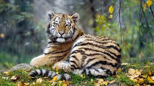 tiger hd image free wallpaper