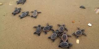 10 Fascinating Facts About Loggerhead Sea Turtles Visit Tybee Island