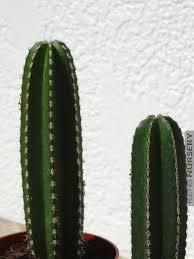 Xl Mexican Fencepost Cactus Lemaireocereus Kens Nursery