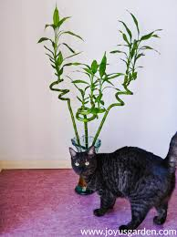 growing lucky bamboo 24 things to know