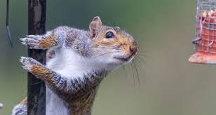 Pest Of The Month Gray Squirrels Farmers Almanac