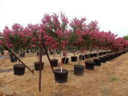 Pink Crepe Myrtle 30 Gallons - Rockin L Tree Farm