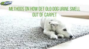 get old dog urine smell out of carpet