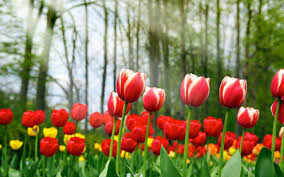 wallpapers tulips flowers wallpaper