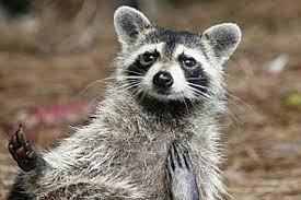 To Kill Or Not To Kill There Is No Question For The Raccoon Roaming Near My Home The Washington Post
