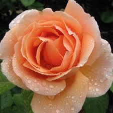 rosier abbaye de cluny vente rosier