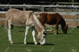 Donkey And Shetland Pony Grazing, Ada Cole Rescue Centre, Redwings.. Stock  Photo, Picture And Royalty Free Image. Image 32290395.
