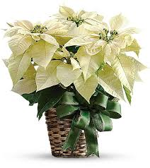 white poinsettia hospital gift