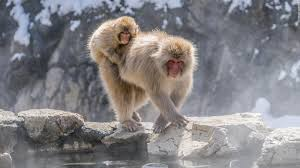 see an s snow monkeys relax in their