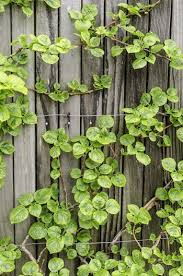 Vines To Grow Along The Fence Fence Supply Online