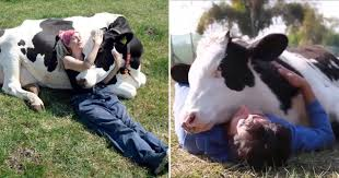 Cow Cuddling Is Now A Thing And It Costs $300 For A 90-Minute Hugging  Session - Small Joys