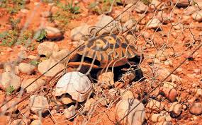 How To Reduce Tortoise Electrocution Mortalities
