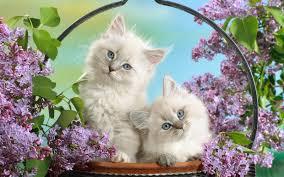 ايجى صور خلفية قطط سيامى مع ورد Background Siamese Cats With