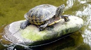 14 Easy Steps To Make An Outdoor Turtle Enclosure Even If You Know Nothing The Turtle Hub