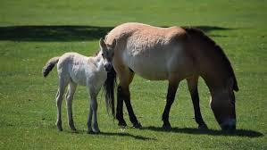endangered species foal boosts lockdown