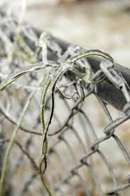 Vines To Grow On Chain Links Home Guides Sf Gate