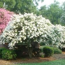 35+ Crape Myrtle Tree Seeds / Perennial / White | eBay