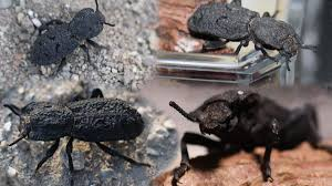 Diabolical Ironclad Beetle (Phloeodes ...