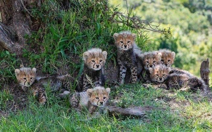 The Seven Wonder Cubs Of Masai Mara