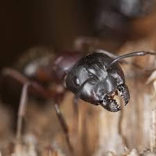 Download Carpenter Ant Prevention  Images