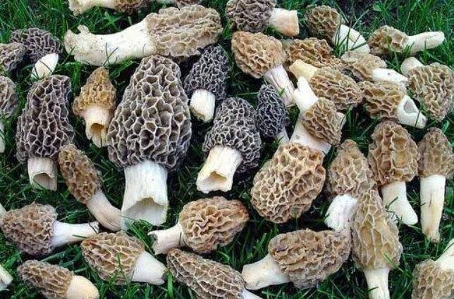 Image result for morel mushroom growing