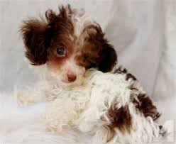 akc toy tiny toy teacup poodles for